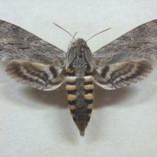 Zawisak powojowiec (Agrius convolvuli)