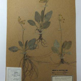 Pierwiosnek lekarski (Primula veris L., Primula officinalis Hill.) – klucze św. Piotra, kluczyki niebiańskie