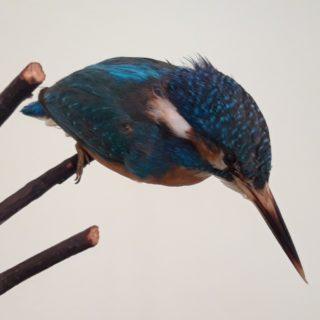 Zimorodek (Alcedo atthis L., 1758)